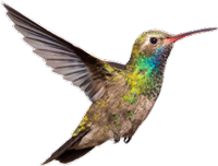 Hummimgbird